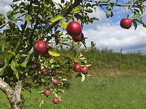 Apples In Hot Climates  Can You Grow Apples In Zone 8 Gardens