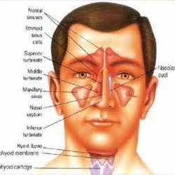 Sinusitis as related to ear nose and throat pictures alfa img showing framed ear nose throat diagram ccuart Images
