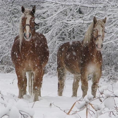 horses horse snow draft weather cold palomino breeds