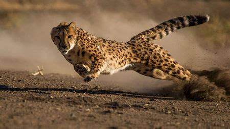 cheetahs ears  crucial  catching dinner science