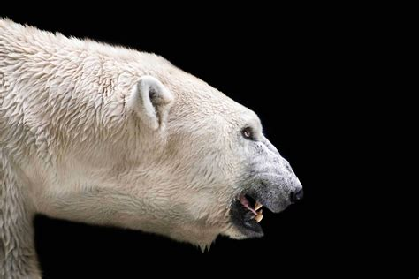 Polar Bear Wallpapers Images Photos Pictures Backgrounds