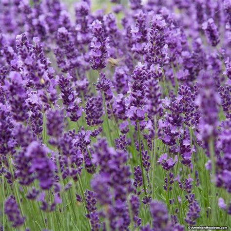 lavender bushes perennials 25 best ideas about lavender hidcote on pinterest full sun garden sun garden and lavender hedge