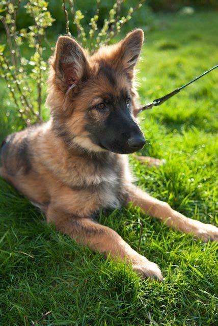 tervuren belgian shepherd sheepdog dogs puppy sheep