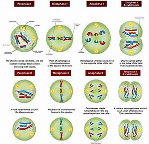 The 8 Stages Of Meiosis Diagram And Label