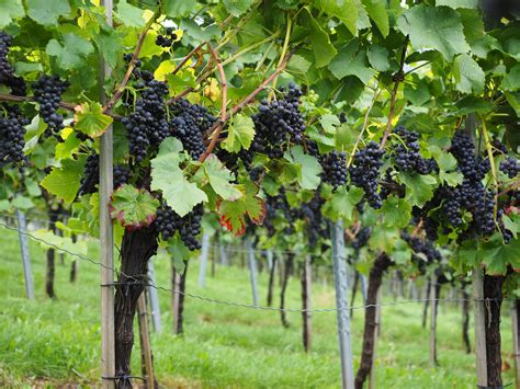 Free Images Grape Vineyard Fruit Food Produce Crop
