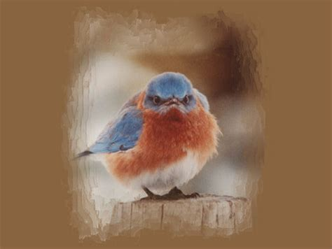 angry bluebird  birds animals background wallpapers