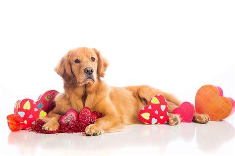 fonds decran chien saint valentin retriever coeur voir