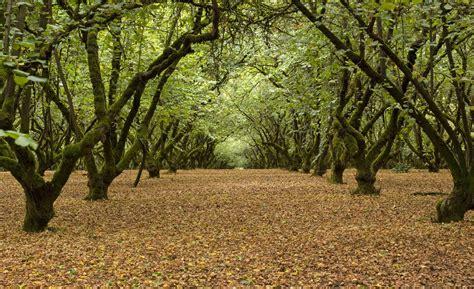 American Hazelnut or American FilbertTrees & Shrubs for ...