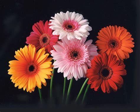 gerbera daisies colors flower show gerbera color chart of 2012