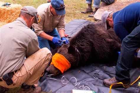 With Plan in Place, Future of Grizzly Recovery Remains ...