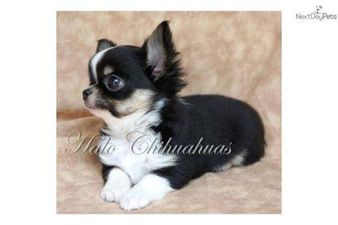 chihuahua puppy  sale  joplin missouri abfebbe