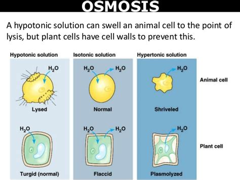 diffusion osmosis  cell division