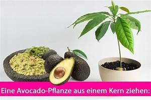 Avocado Pflanze Pflege : die besten 17 ideen zu avocado z chten auf pinterest ~ Lizthompson.info Haus und Dekorationen