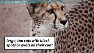 Cheetah Cat Respiratory System Diagram