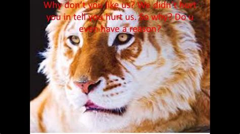 Save The Golden Tabby Tiger Youtube