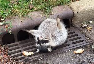 A Fat Raccoon Got Stuck in a Sewer Grate After Eating Too