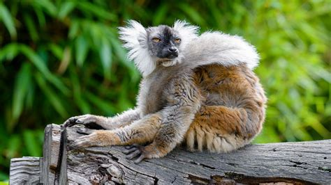 Download Wallpaper 1920x1080 Lemur Glance Funny Animal