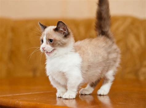 Our story gato x our planet stockists blog. Munchkin - conheça mais sobre este gato anão - Alfabeto Pet