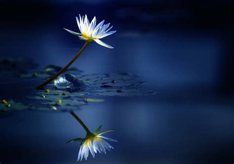 water lily hd wallpapers  background images yl computing