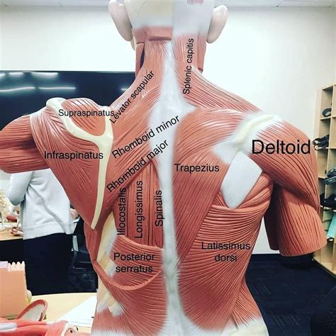 The intrinsic muscles are named as such because their embryological development begins in the these muscles collectively work to help movements of the vertebral column and to also control. Medical Vids™ on | Medical mnemonics, Human body muscles ...