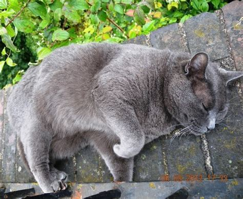 Do Russian Blue Cats Shed by 21 Low Shed And Cats That Don T Shed For Easy Grooming