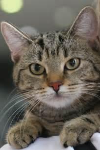 gray cat names best 25 tabby cats ideas on tabby cat names