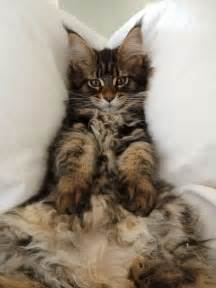 cat 3 maine coon 3 months cats beautiful