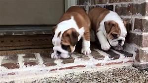 Fawn and white English Bulldog puppies - YouTube