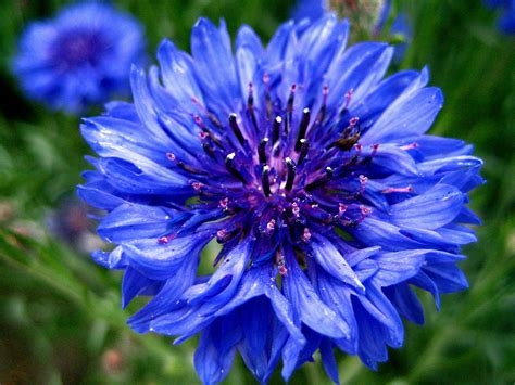 blue flower georgia girl with an english heart blue flowers singing the blues