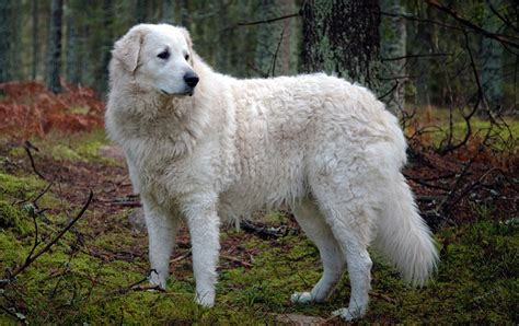 great pyrenees shedding information 100 great pyrenees shedding information great