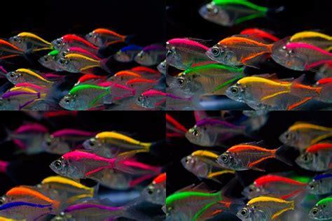 glass fish mix color  sale  aquarium fish importer