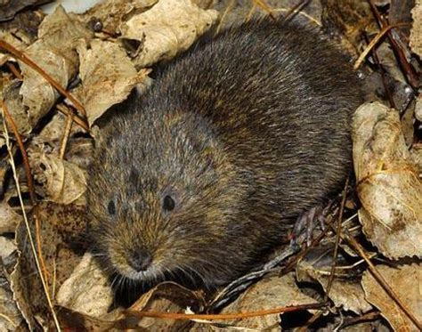 vols animal picture 5 of 13 water vole arvicola amphibius pictures images animals a z animals
