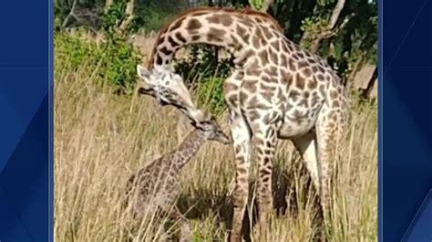giraffe born  disney worlds animal kingdom
