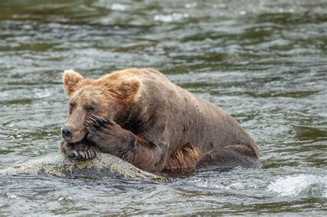 National Geographic Brown Bear