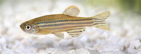 zebrafish embryos   identify potential type