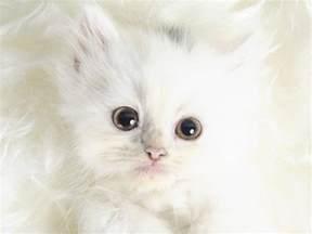 white cats animals white kittens