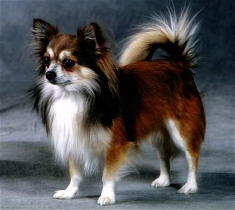 chihuahua  long hair   colorsjpg  comments
