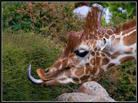 funny giraffe pictures     laugh