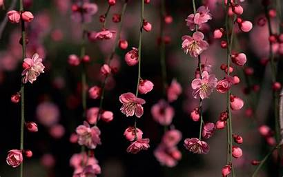 Blossom Wallpapers Cool Cherry Pixelstalk Close