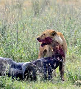 Lions Prey and Predators