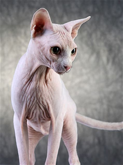 Don Sphynx Katze