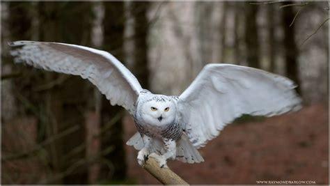 Harry Potter Wallpaper Hedwig Owl by Hedwig In Flight I Harry Snowy Owl
