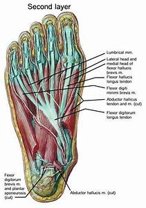 Bottom Of Foot Anatomy Fa02