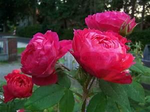 benjamin britten r english rose buy at agel rosen With katzennetz balkon mit rose garden parfum