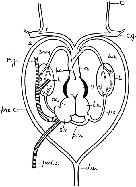 frog heart clipart
