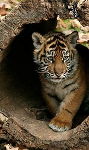 Wallpapers Of Tigers - Wallpaper Cave