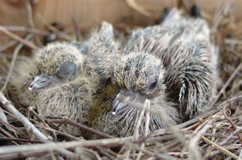 mourning dove babies   wings   dove pinterest