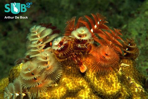 christmas tree worms marine life facts