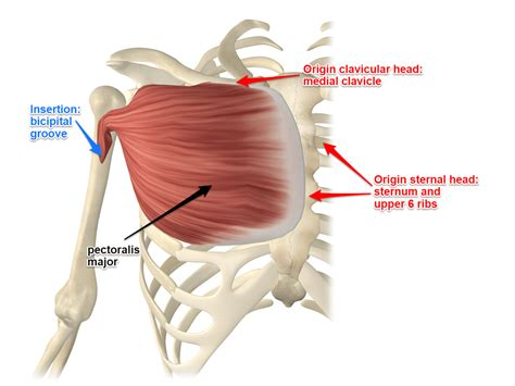 Diagram Pectorali Major by Pectoralis Major Attachments And Actions Related To