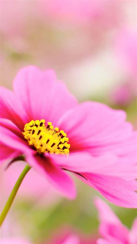 Iphone 6 Flower Wallpaper Hd by Pink Dahlia Macro Flower Iphone 6 Plus Hd Wallpaper Hd